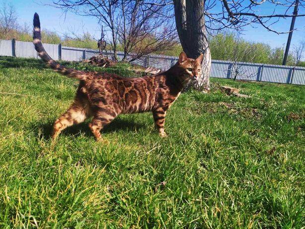 Бенгальский кот для вязки!