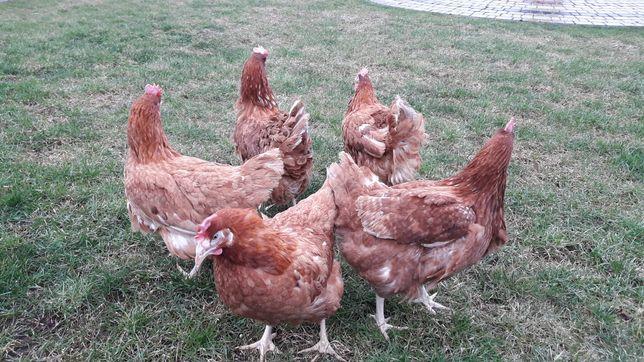 Kury nioski z jajkiem