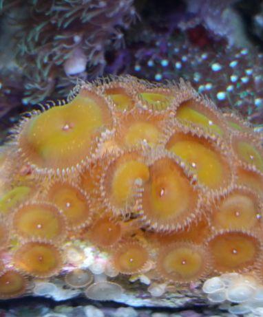 corais para venda