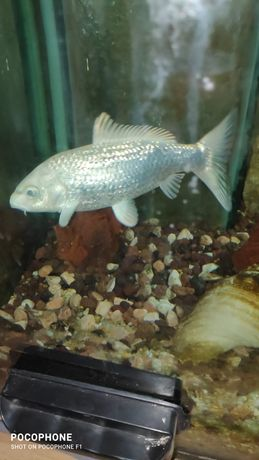 Peixe carpa super raro