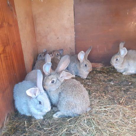 Młode króliki 7tygodniowe