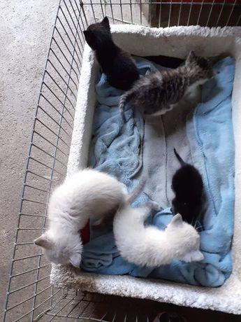 Gatas e gatos bebés para adoção