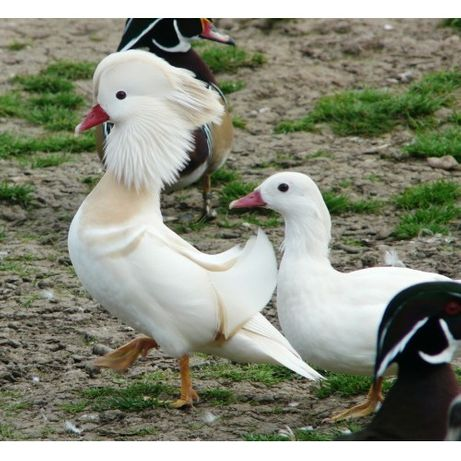 Casal patos mandarins brancos