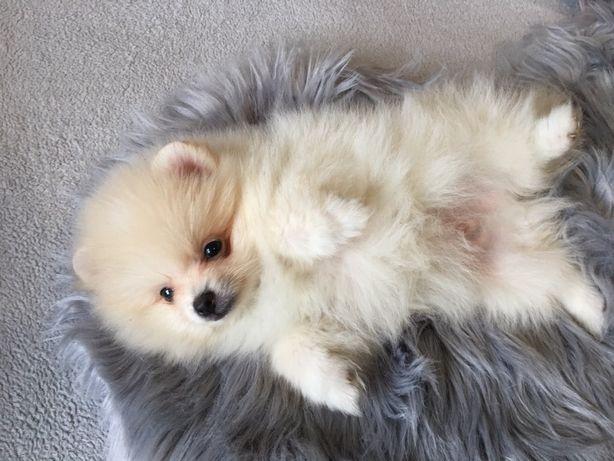 Pomeranian piesek  mini PASZPORT rodowod wielopokoleniowy
