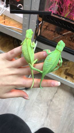 Хамелеоны самцы и самочки