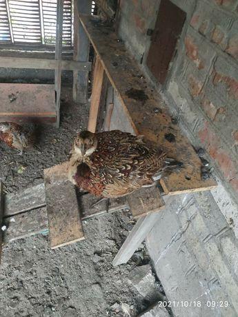 Продам фазан охотничий