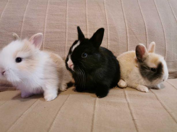 KIT gaiola nova + coelhos anões + comida