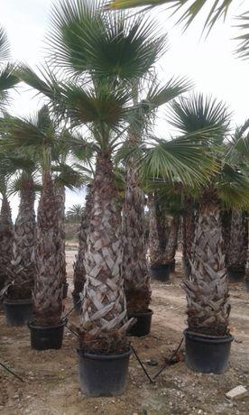 Washingtonia robusta Palmeiras