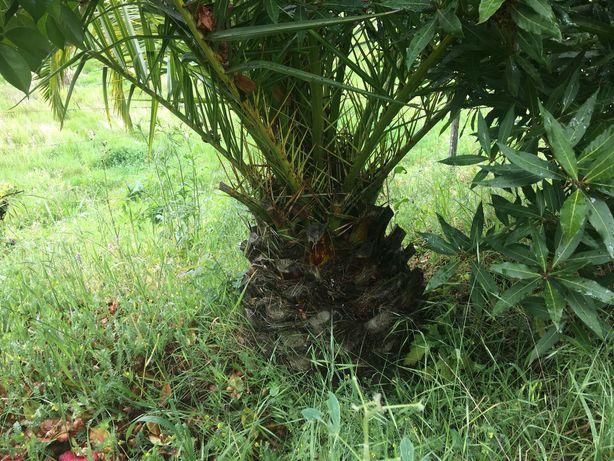 Palmeira grande cerca de 250cm