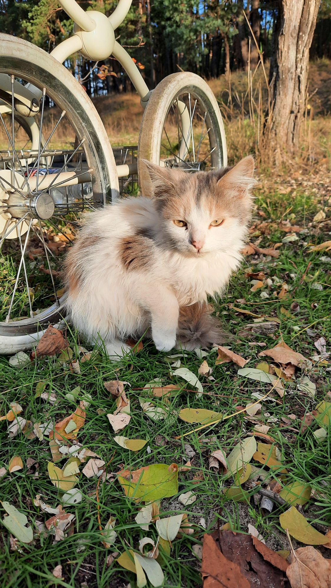 Трёхцветная кошка. В добрые руки