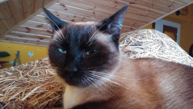 Zaginiona kotka w typie tajskim/syjamskim