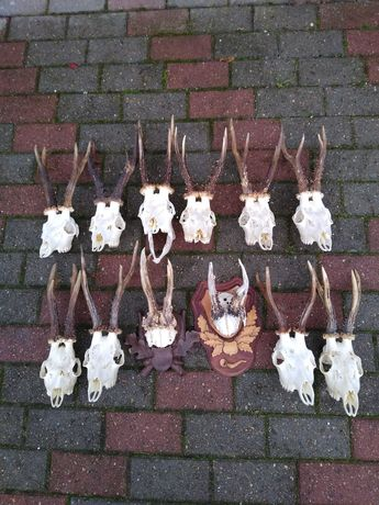Poroża - parostki kozłów  12 sztuk