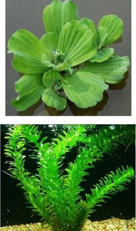 Пистия и элодея - аквариумные растения