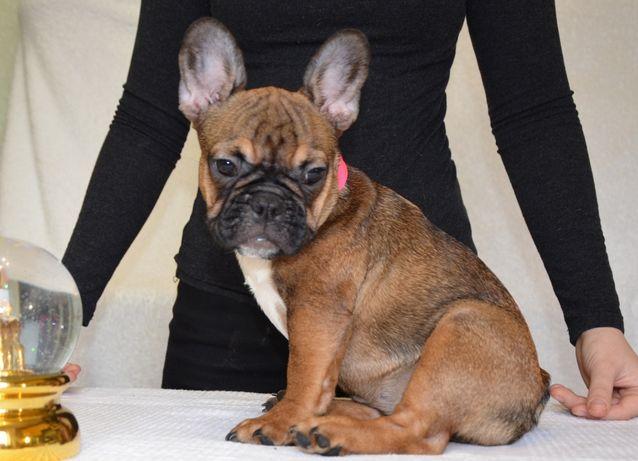 Маленькая яркая девочка КСУ щенок французский бульдог