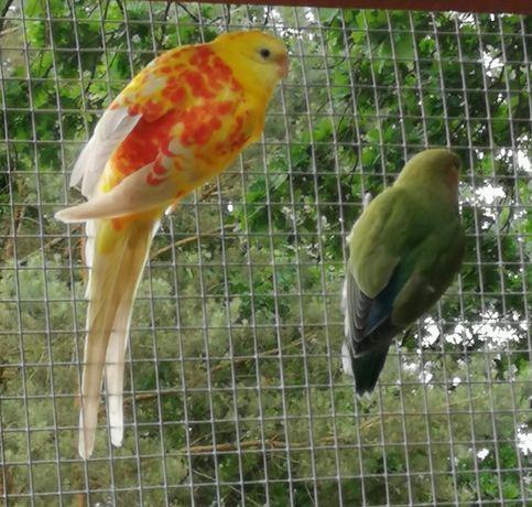 Para papug falistych, papugi