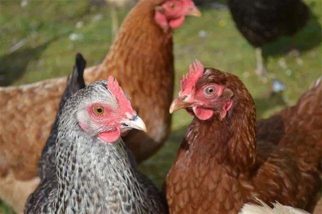KURY nioski kokoszki koguty brojlery indyki kaczki gęsi perliki