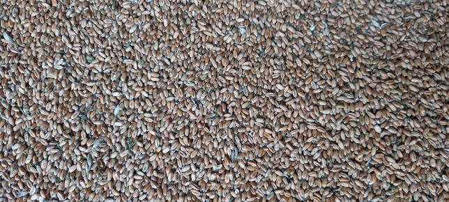 Пшеница 6 грн/кг