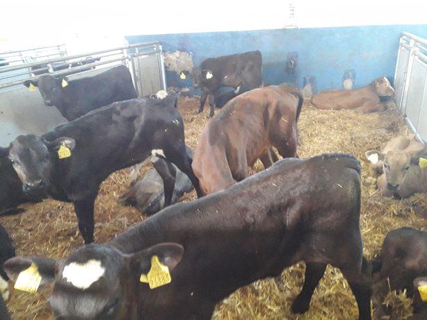 Cielęta Mięsne, Jałoszki, Byczki mięsne i HF mleczne, dowozimy