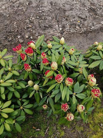 Rododendron jakuszimański