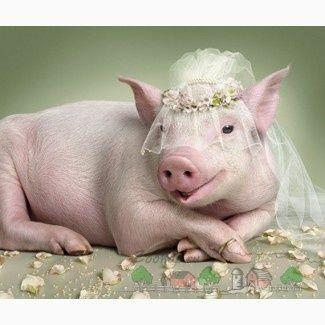 Продаж Рем свинок Ф1