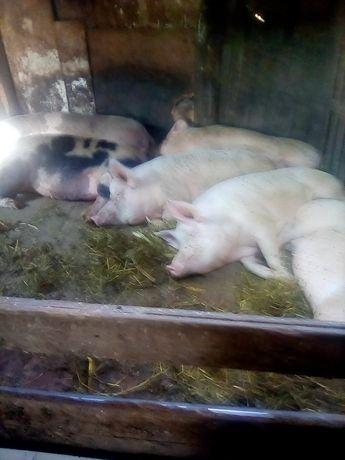 Продам срочно свиней