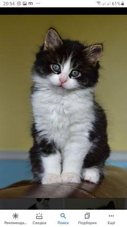 Сибирская кошка черно-белая
