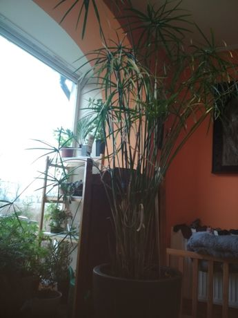 Papirus cibora roślina
