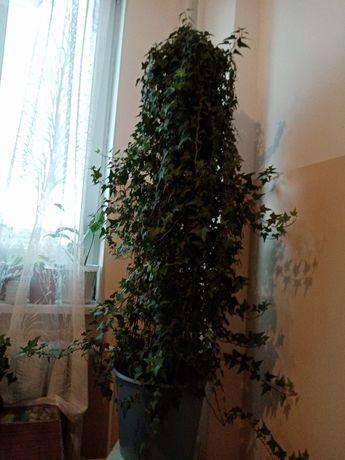 Продам комнатной растение-плющ