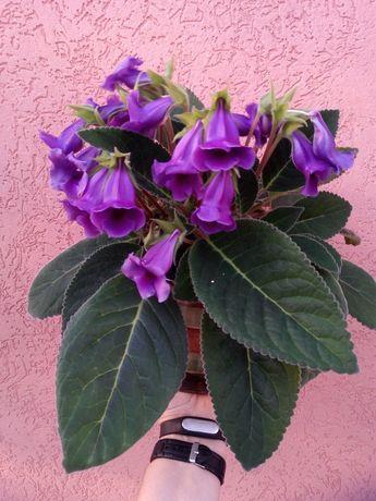 Комнатное растение Тидея.