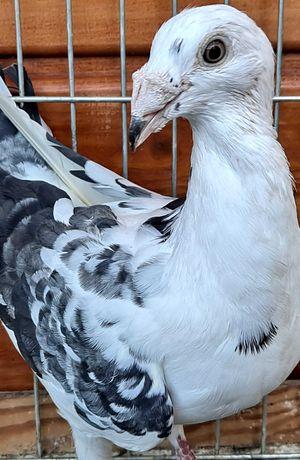 Gołębie staropolskie samiczka
