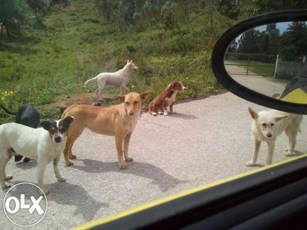 Cães p adopçao