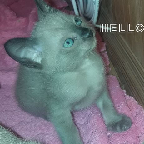 Чистокровные тонкинские котята тонкинезы