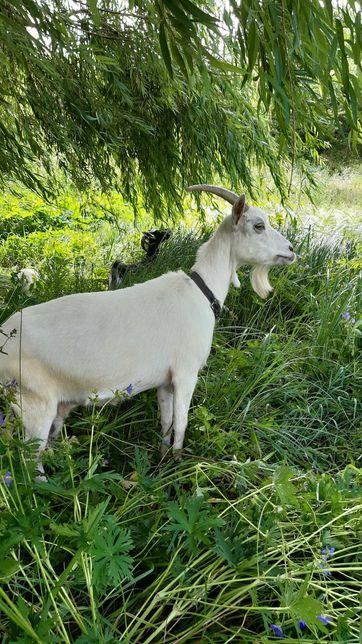 Продам козу для молочка