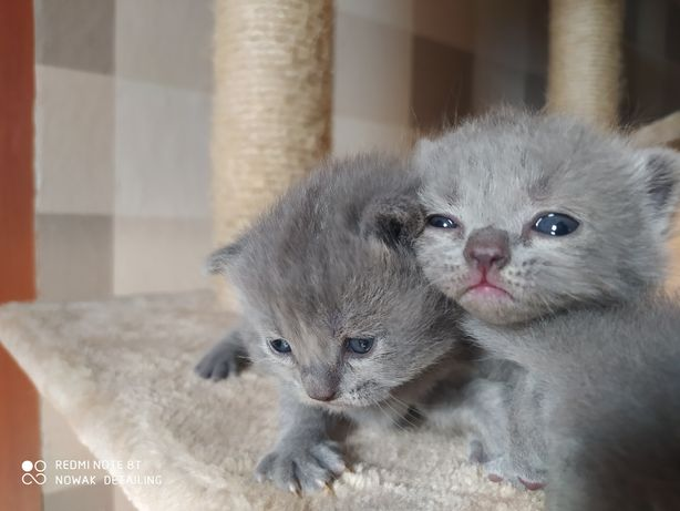 Kotki Brytyjskie