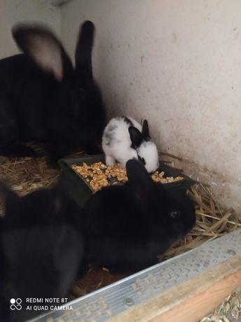 Samica + 9 młodych samica z młodymi królik króliki