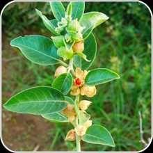 Whithania somnifera 500 sementes
