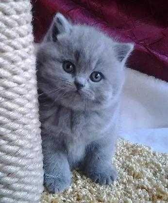 Одесса клубные  котята шотландские прямоушка не британский