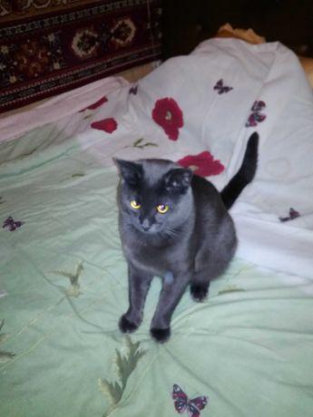 Вязка британский кот квартирный возраст 2 года, приглашает в гости дам