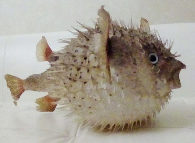 Рыба фугу - чучело