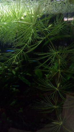Rogatek sztywny, roślina akwariowa, rośliny akwariowe
