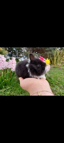 A2 króliczek teddy karzełek miniaturka czarno-biały WYPRAWKA gratis