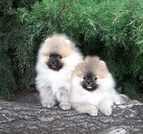 Шпиц померанский щенки - красивые малыши-КСУ