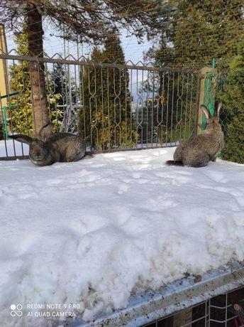 Sprzedam młode króliki  baranki i belgi .