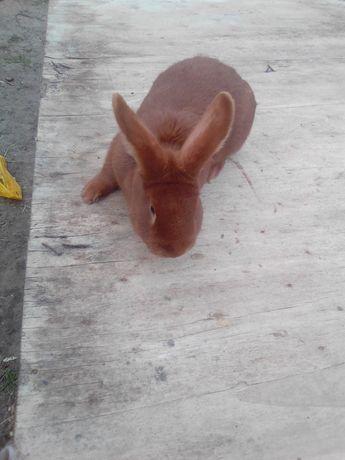 Sprzedam króliki 2 samce nowozelandzie oraz mieszańce