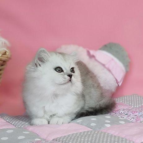 Феликс. Шотландский котик с документами. Серебристая шиншилла. Видео.