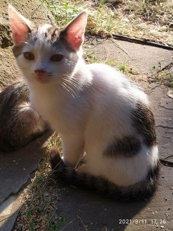 Отдам белого с серым котенка, 4 месяца, мальчик
