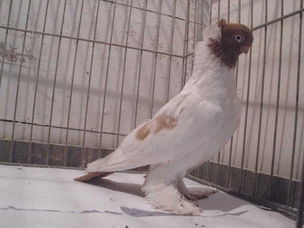 barwnogłówka królewiecka gołębie ozdobne - samiec