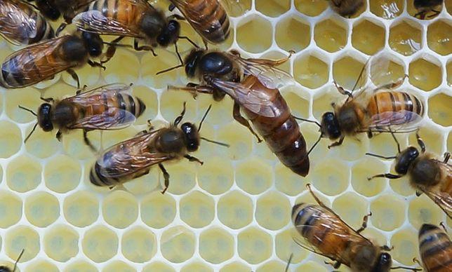 Matki pszczele GRATISY Elgon Hinderhofer Buckfast Prima Sklenar