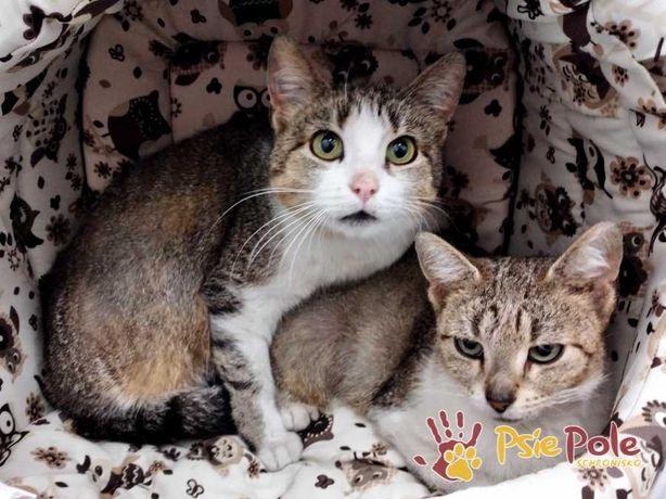 KOCANKA-Niewielka bura kotka z białym nosem szuka kochającego domu