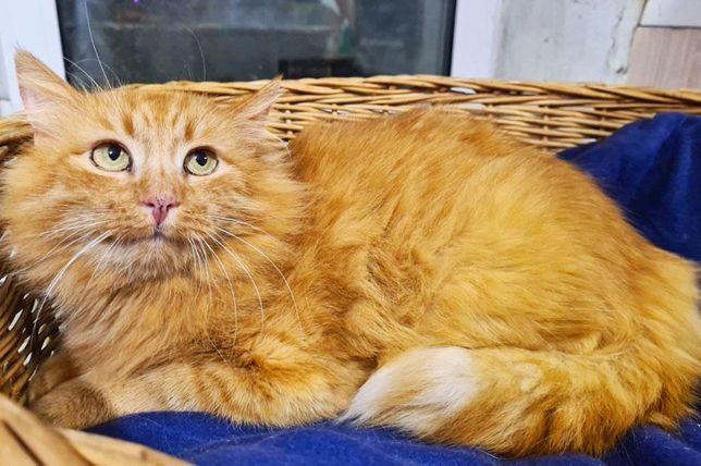 Ласковая рыжая чудо-кошечка Голди ищет свой дом. Котики, котята, кошеч